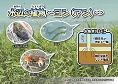 ②水辺の植物~ヨシ(アシ)~